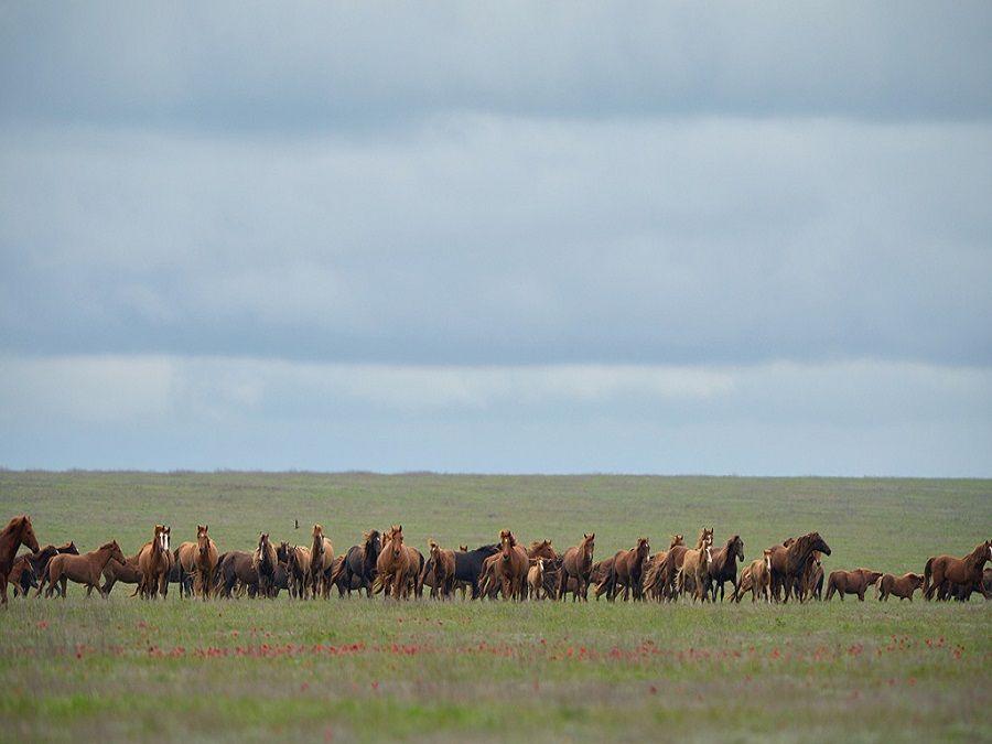 Фотография диких мустангов на острове Водный в Калмыкии