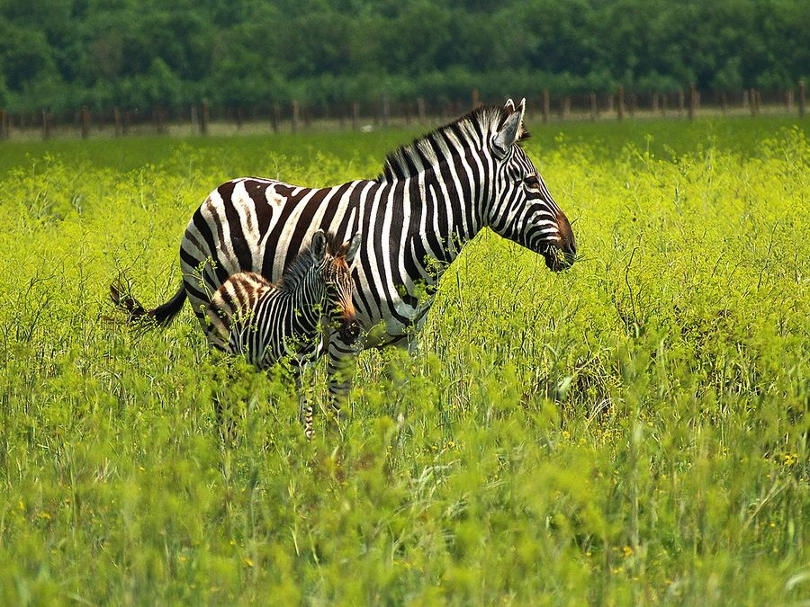 Семейство зебр на фото в Аскании-Нове