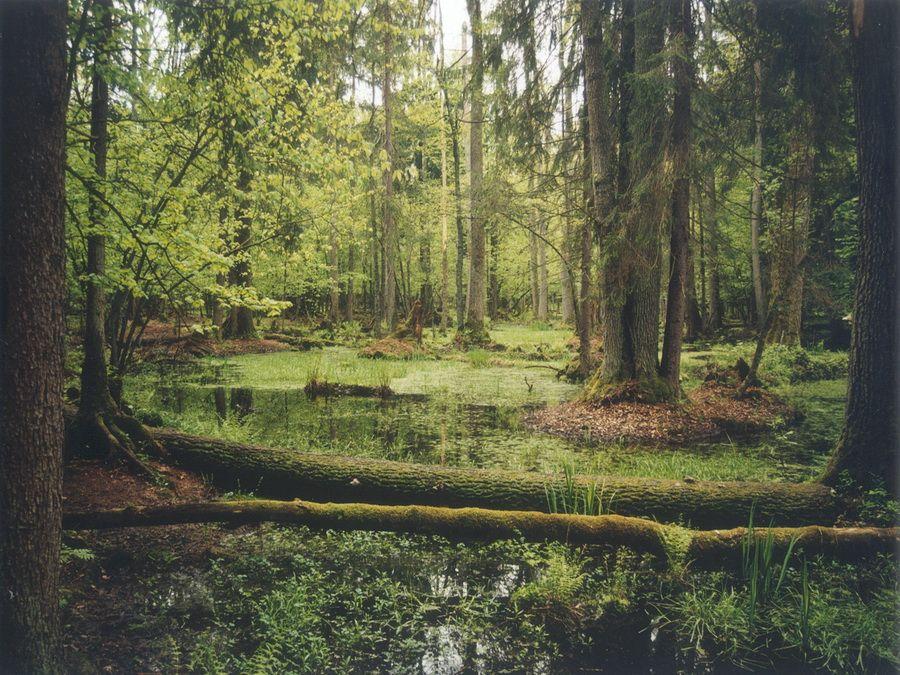 Фотография реликтового леса в Беловежской пуще