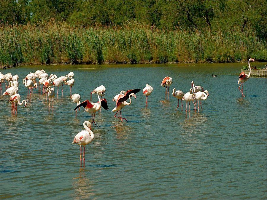 Стая фламинго на озере в Национальном заповеднике Камарг фото Франции