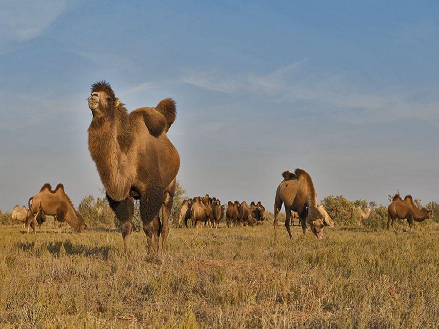 Фотография верблюдов в Калмыцкой степи