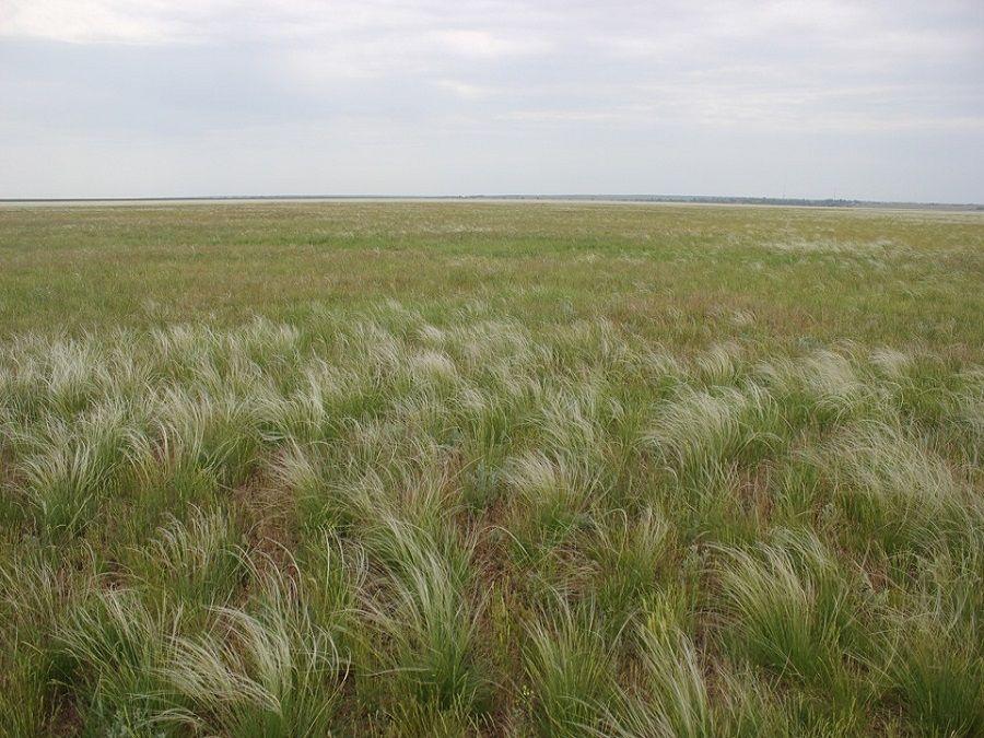 Фотография ковыля в Калмыцкой степи