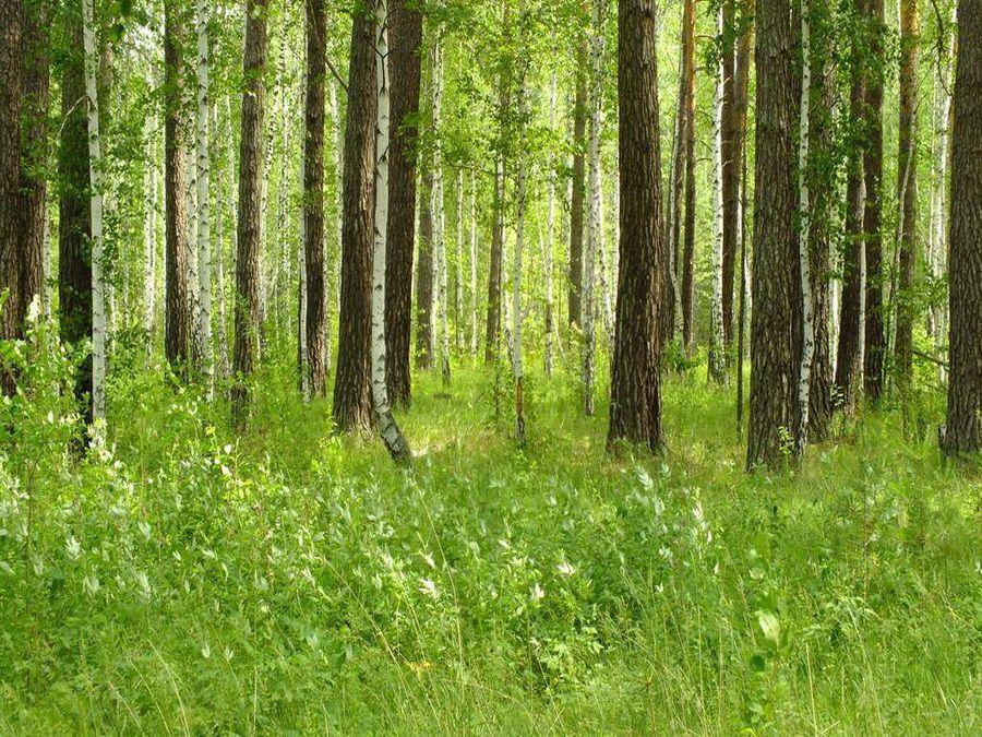 Фотография смешанного леса в Каргополье Курганской области