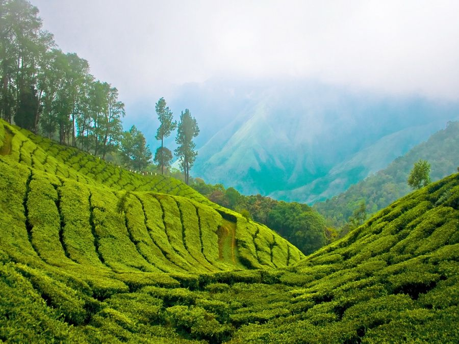 Чайная плантация в Керале