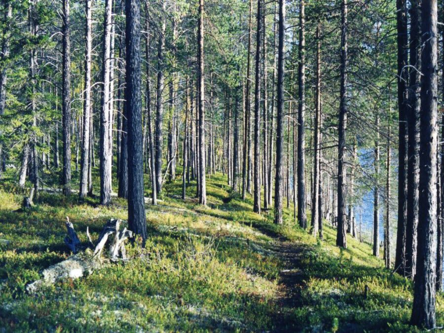 Фото красивый лес Лапландского заповедника