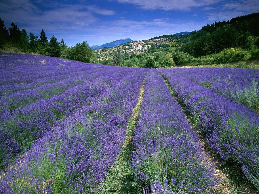 Лавандовые поля в Провансе фотография