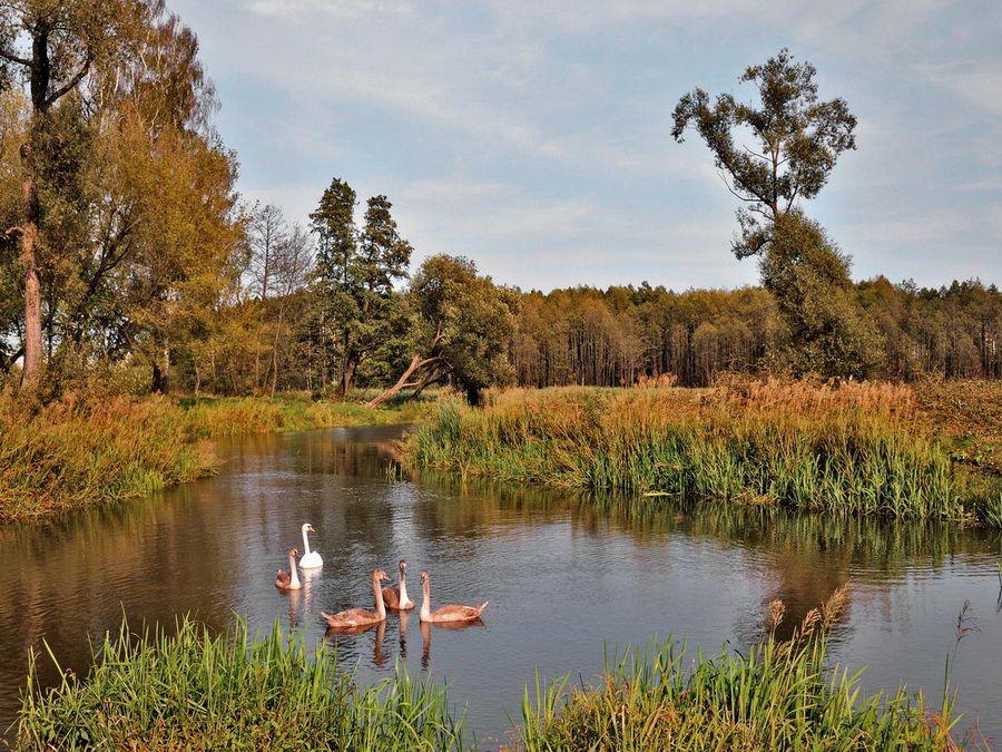 Лебеди на пруду в Лошицком парке фото