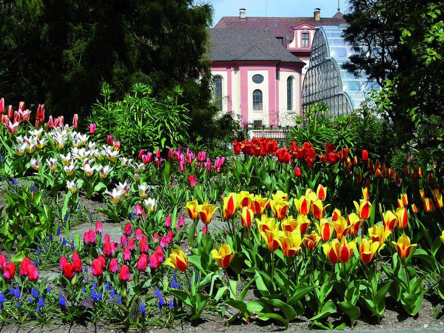 Фото цветущих тюльпанов на острове Майнау Германия