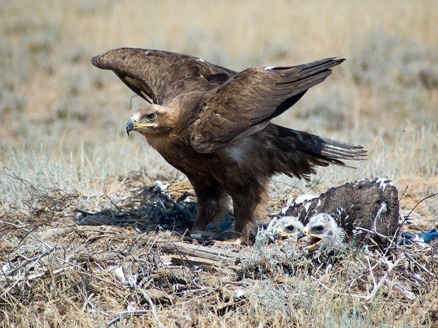 Фотография степного орла в Меклетинском заказнике