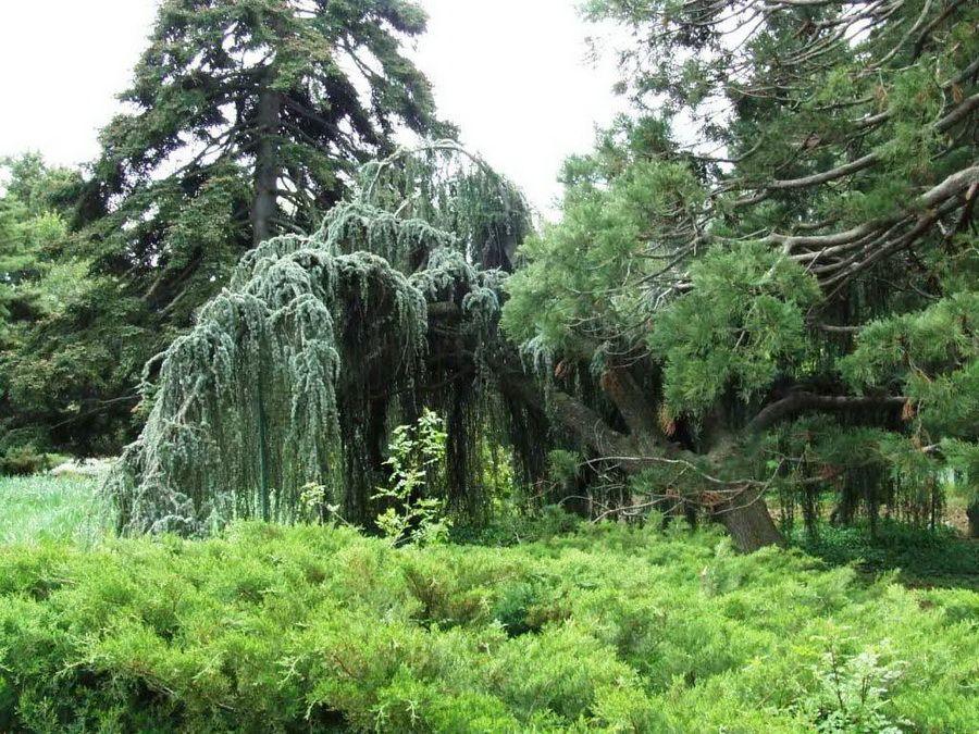 Фото плакучего кедра в Никитском ботаническом саду