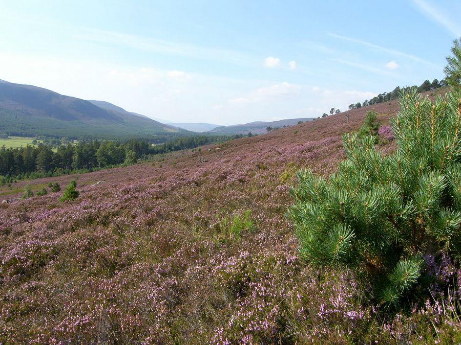 Вересковые поля в Шотландии фото