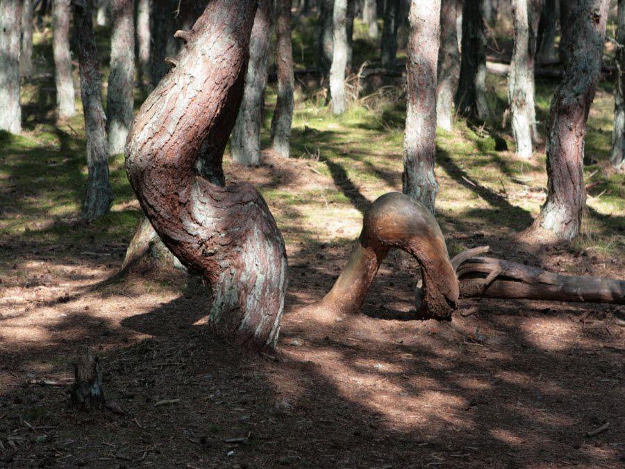 Танцующий лес на Куршской косе Калининградской области фото