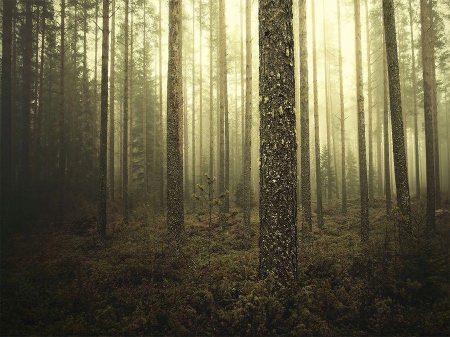 Лес в Финляндии фото