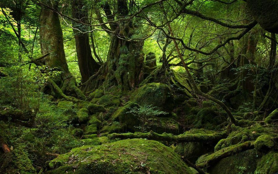 Фото древних деревьев на острове Якушима