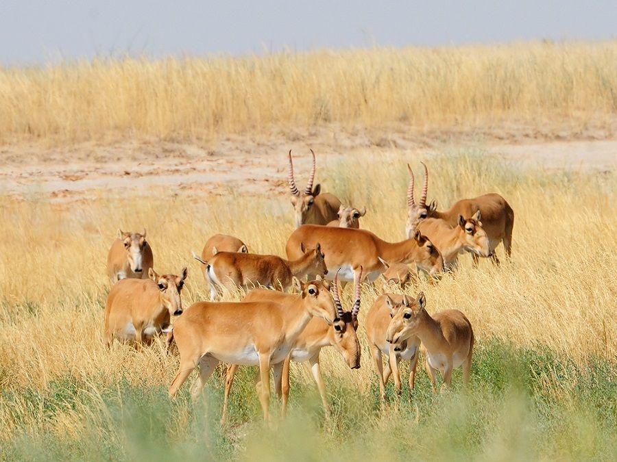 Фотография антилоп-сайгаков в заповеднике Черные земли
