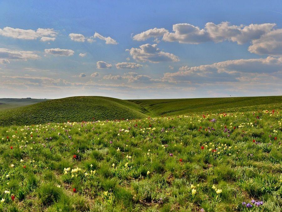 Фотография тюльпанов Шренка в заповеднике Черные земли