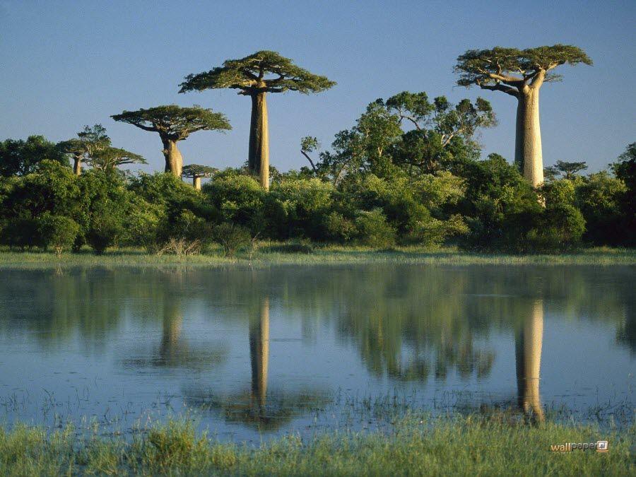 Фото долины баобабов в Морондаве Мадагаскара