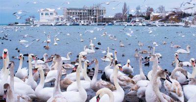 Лебеди в бухте Омега